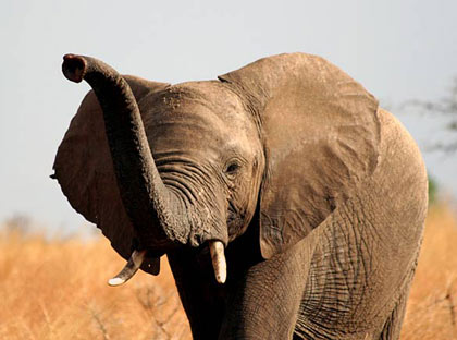 the African Elephant (Loxodonta africana) is listed as 'near threatened' - poaching for ivory and meat has traditionally been the major threat to the species