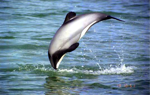 Hector's dolphin teetering on the edge of extinction