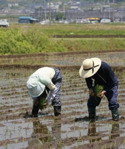 Japanese elderly couple transplant rice seedlings paddy field in Shizuoka, west of Tokyo
