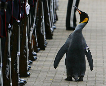 King penguin Nils Olav walks past soldiers from the Norwegian King's Guard after he was given a Knighthood at Edinburgh Zoo August 15, 2008. Edinburgh Zoo penguin Olav has been an honorary member and mascot of the Norwegian King's Guard since the 1980s and was made Honorary Colonel-in-Chief in 2005