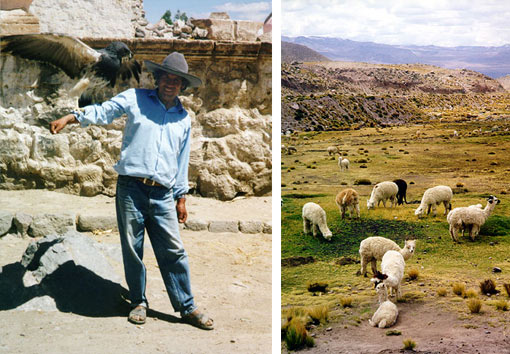 left: man with pet eagle in Valle de Colca, Peru: standing outside a small souvenir stand in Colca Canyon; right: many alpacas