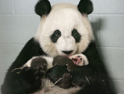Giant panda Lun Lun and her 68-day-old cub enjoyed their indoor quarters at the Arthur M. Blank Family Foundation Giant Panda Conservation Center at Zoo Atlanta, 2006