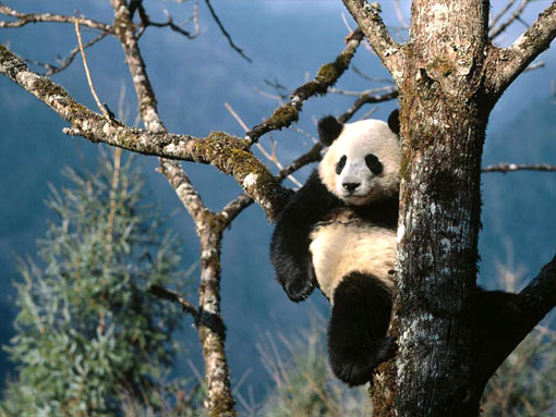 panda sitting in a tree