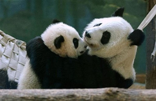 giant panda cub Mei Lan, left, playing with her mother Lun Lun in the ...