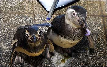 two of the more than 1,000 penguins that have washed ashore. Many have died