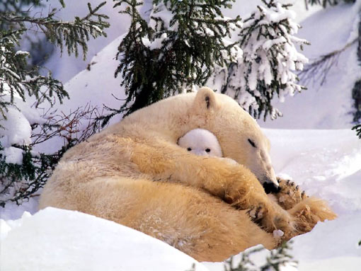 Peekaboo! Polar bear and cub