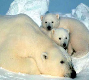 The Interior Department designates the polar bear as a threatened species under the Endangered Species Act