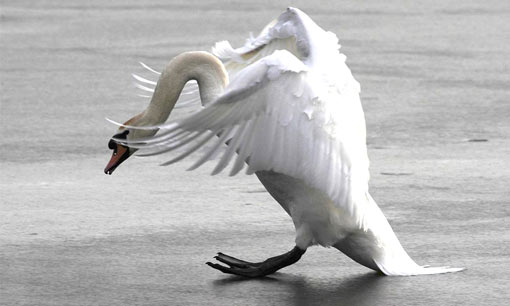 Castleford, northern England: swan trying to land