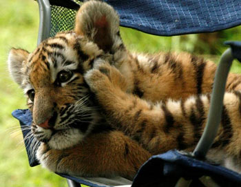 a 3-month-old Amur tiger cub lounges in a chair at the Pittsburgh Zoo