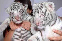 white tiger pups
