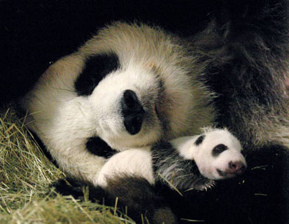 Zoo Atlanta's giant panda Lun Lun cares for her cub Mei Lan after its second health check-up, 2006