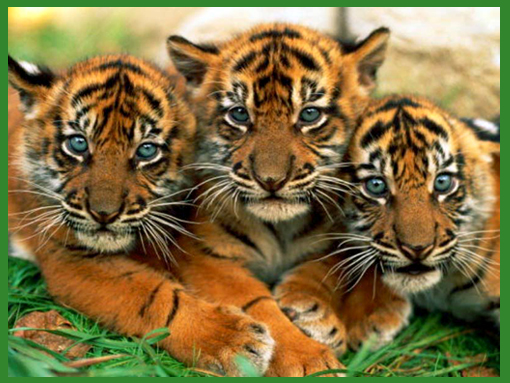 three tiger cubs