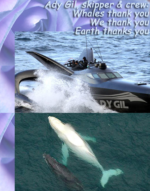 Ady Gil, skipper Pete Bethune and crew: Whales thank you; we thank you; Earth thanks you! Bottom image: Migaloo, the 14-meter, 35-ton pure white humpback whale, only one of its kind, cruising near Coffs Harbour with another whale. Japanese whalers target annual quotas of ~1000 whales (minke and fin whales), even with a global ban on the hunting of the endangered Fin whale.