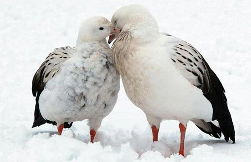 Andean geese couple, George and Mildred, lovingly nuzzle each other in snow