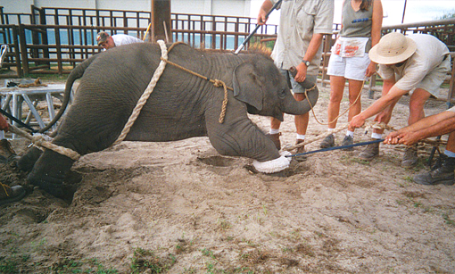 Ringling circus: a baby elephant is tied up, prodded and electro-shocked