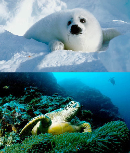 Top: baby harp seal. Bottom: green sea turtles
