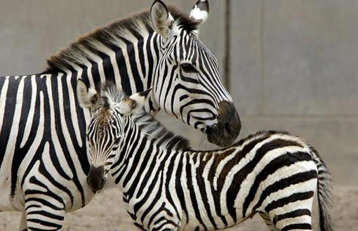 Peru's fourth Zebra ever born in captivity as part of a preservation program, seen here with his mother