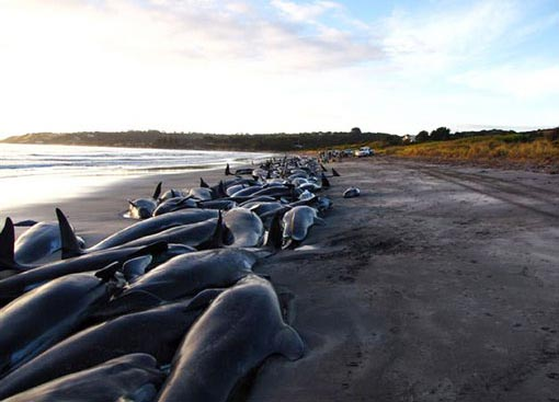 nearly 200 whales and several dolphins beached themselves on King Island off Tasmania on 2 March 2009