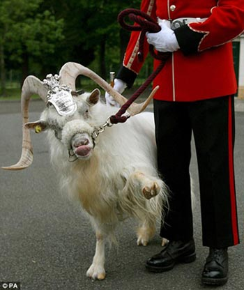 royal salute: Billy, a Kashmir goat, was a gift from the Queen in 2001