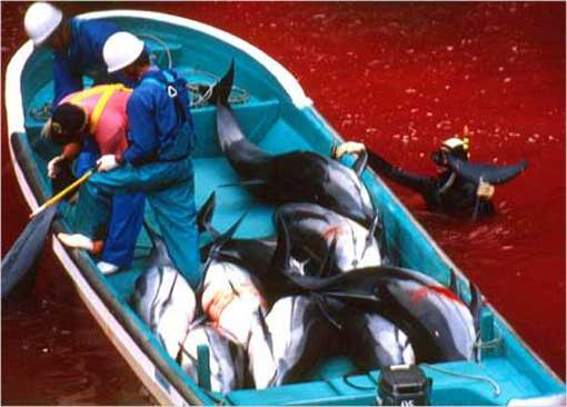 Taiji, Japan - blood from annual mass dolphin massacre stains the cove red.