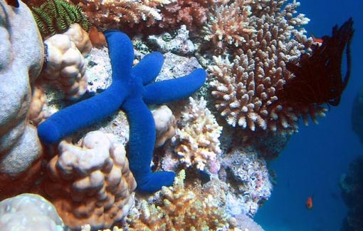 blue Starfish (Linckia laevigata) resting on hard Acropora coral