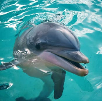 The name 'bottlenose' comes from this dolphin's elongated upper and lower jaws that form what is called the 'rostrum'. It communicates through squeaks, whistles, and body movement.