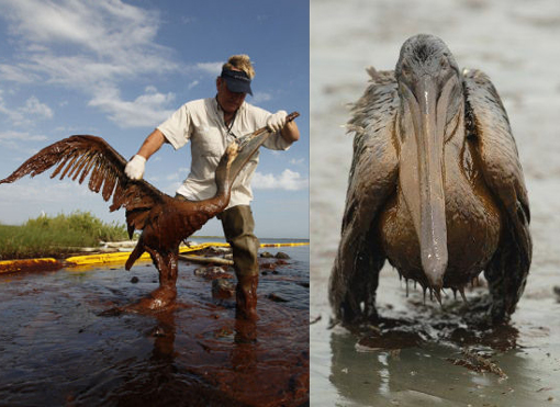 Plaquemines Parish coastal zone director P.J. Hahn lifts an oil-covered pelican which was stuck in oil at Queen Bess Island in Barataria Bay, just off the Gulf of Mexico in Plaquemines Parish, La., Saturday, June 5, 2010