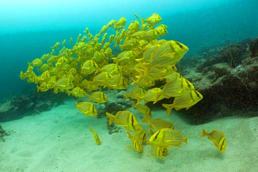 the no-take reserve at Cabo Pulmo is full of fish schools