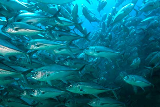A group of bigeye trevally (Caranx sexfasciatus) forms a spawning aggregation. Such populations have returned to the waters of the Cabo Pulmo National Marine Park after a fishing ban.