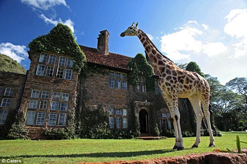 giraffic park: a gentle giant towers in front of the English-style manor house which guests can pay to stay in