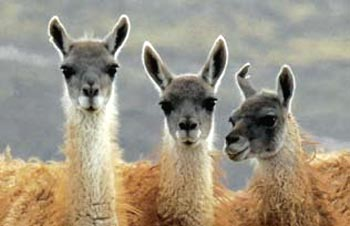 Guanacos are among the species found in the region