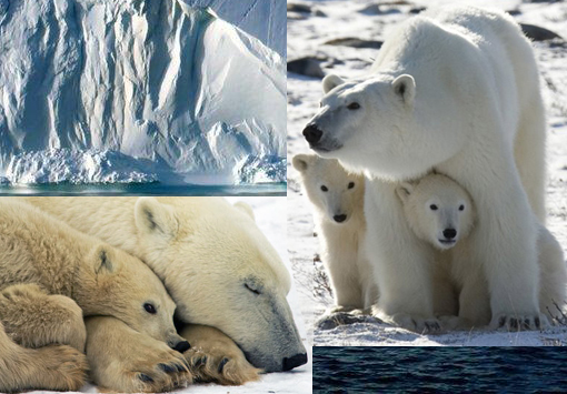 melting sea ice in the Arctic will kill thousands of polar bears in coming years