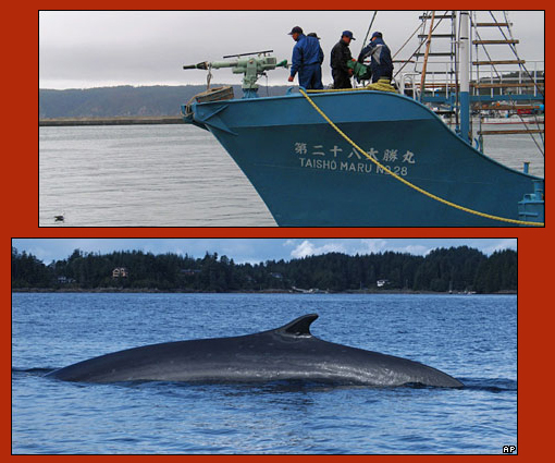 endangered fin whale a target of Japanese commercial whaling