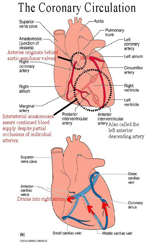 diagram: coronary arteries