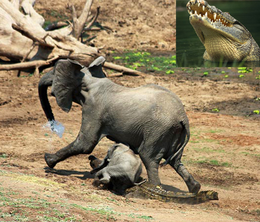 crocodile attacking elephants