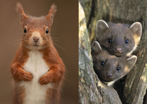 threatened species: red squirrel and pine marten