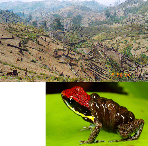 Top: deforestation; Bottom: Ecuadorian Poison Frog, Epipedobates bilinguis, transporting its tadpoles.