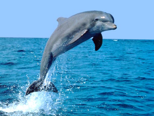 dolphin watching in Goa: dolphin leap in the open sea
