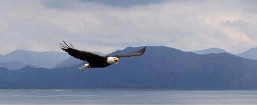2nd place: Eagle at Aniakchak Bay in the Aniakchak national monument and preserve, Alaska. Photograph: Buzz Hoffman/The Wilderness Society