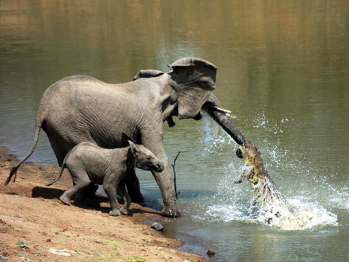 crocodile attacks elephant and baby