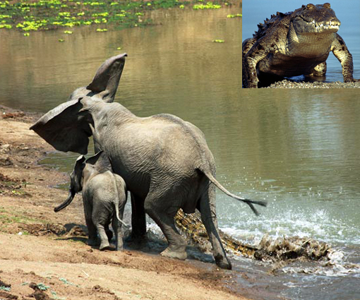 crocodile attacks African elephants