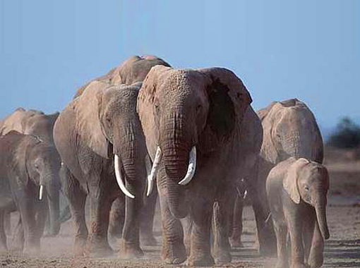 endangered African elephants in Namibia