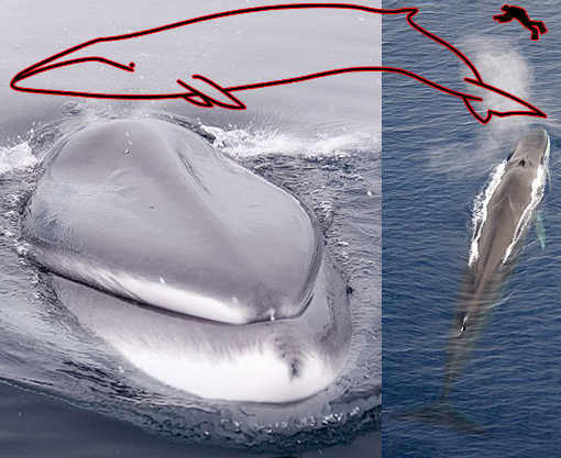 commercial whaling of the endangered fin whale