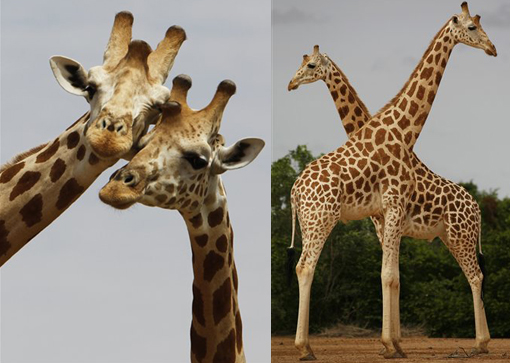 Africa's most endangered giraffe subspecies