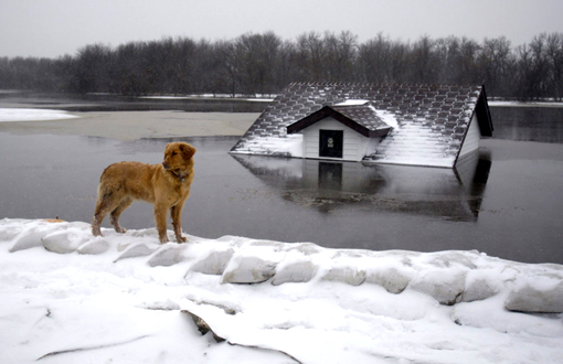 Stensgard family dog stands on earthen and sandbag dike surrounding the Stensgard home which overlooks a flooded outbuilding as the Red River continues to rise, March 25, 2009 in Fargo, N.D. Due to the flooding, the Stensgard home can only be reached by boat.