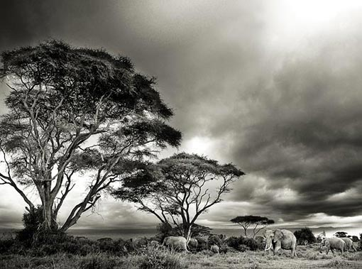 Federico Veronesi/Sony World Photography Awards – African elephants dwarfed by acacias in Kenya