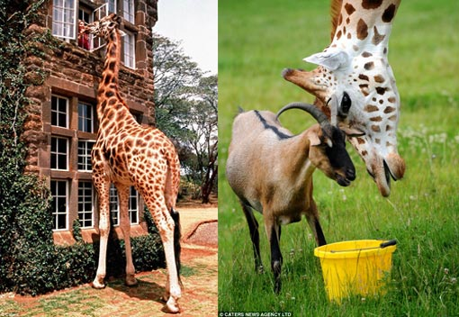 Left: high tea - Tanya Carr-Hartley feeds one of the tall mammals, one of eight on their estate, from a window; Right: table manners: Gerald and Eddie like to be close to each other when they eat. The giraffe even lets his friend get his nose in the trough first