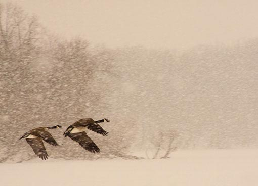 Canada geese in a snowstorm over Hottes Lake, Iowa. Photograph: ruf_d/The Wilderness Society