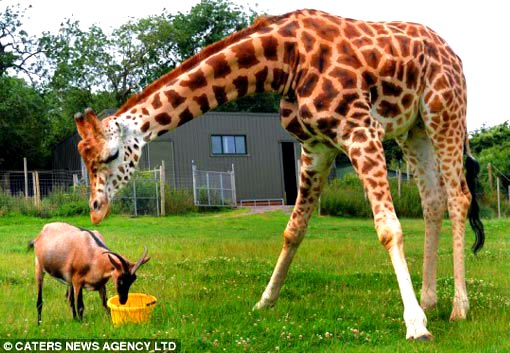 our-legged friends: Gerald the giraffe and Eddie the goat became inseparable after keepers placed them in the same enclosure at Noah's Ark Zoo Farm in Bristol three years ago