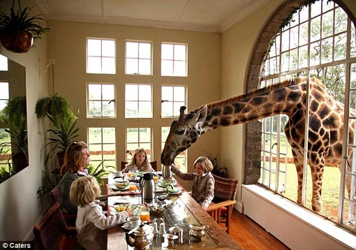 tall order: A rare Rothschild giraffe joins the breakfast table at the Carr-Hartley family's manor house in Kenya